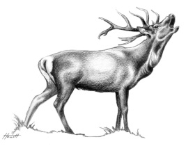 stag-roaring3_700