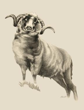 sheep_700